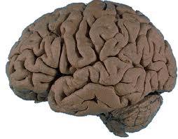 Brain image from Willamette University