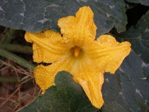Pumpkin Flower image by Vishalsh521