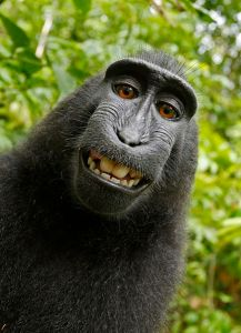 The famous monkey selfie